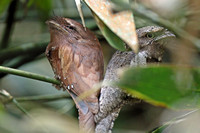 Sri Lanka Frogmouth (Batrachostomus moniliger)