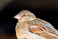208 - Old World Sparrows, Snowfinches (Passeridae)