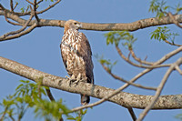 Mountain Hawk-Eagle (Nisaetus nipalensis)