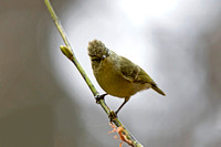 Yellow-browed Tit (Sylviparus modestus)