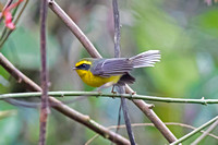 Yellow-bellied Fantail (Chelidorhynx hypoxantha)