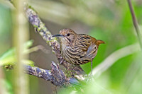 Long-billed Wren-Babbler (Rimator malacoptilus)