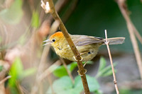 Rufous-capped Babbler (Stachyridopsis ruficeps)