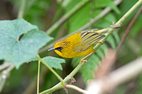 Golden Babbler (Stachyris chrysaea)