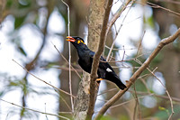 Common Hill Myna (Gracula religiosa)
