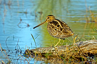 064 - Sandpipers, Snipes (Scolopacidae)