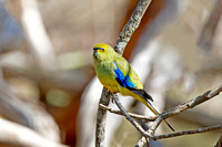 Blue-winged Parrot (Neophema chrysostoma)