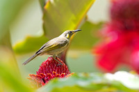 Graceful Honeyeater (Meliphaga gracilis)