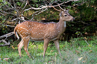 Ceylon Spotted Deer (Axis axis)