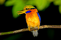 Rufous-collared Kingfisher (Actenoides concretus)