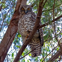 Powerful Owl (Ninox strenua)