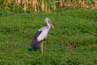 Asian Openbill (Anastomus oscitans)