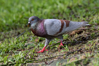 Common Pigeon (Columba livia)