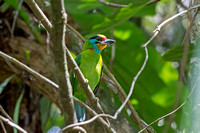 Black-browed Barbet (Megalaima oorti)