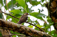 Buff-necked Woodpecker (Meiglyptes tukki)