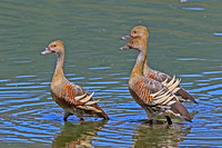 Plumed Whistling Duck (Dendrocygna eytoni)