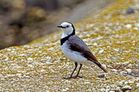 White-fronted Chat (Ephthianura albifrons)