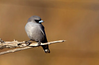 Black-faced Woodswallow (Artamus cinereus)