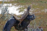 Common Bearded Dragon (Pogna barbata)