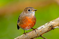 Norfolk Robin (Petroica multicolor)