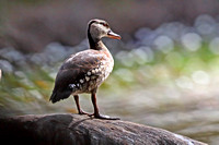 Spotted Whistling Duck (Dendrocygna guttata)