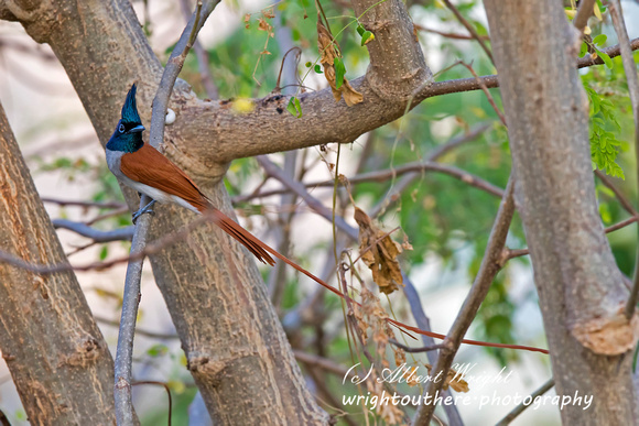 Asian Paradise Flycatcher (Terpsiphone paradisi)