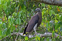 Grey-headed Fish Eagle (Haliaeetus ichthyaetus)