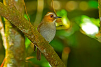 Eyebrowed Jungle Flycatcher (Rhinomyias gularis)