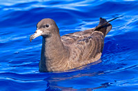 Flesh-footed Shearwater (Puffinus carneipes)