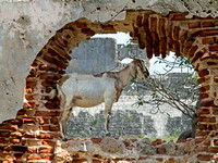 Goat in Old Wall