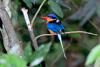 Buff-breasted Paradise Kingfisher (Tanysiptera sylvia)