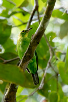Greater Green Leafbird (Chloropsis sonnerati)