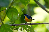 Yellow-rumped Flowerpecker (Prionochilus xanthopygius)
