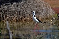 White-headed Stilt (Himantopus leucocephalus)