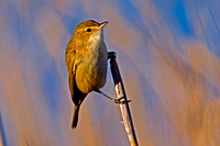 182 - Reed warblers and allies