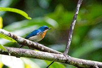Bornean Blue Flycatcher (Cyornis superbus)