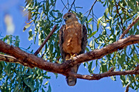 Red Goshawk (Erythrotriorchis radiatus)
