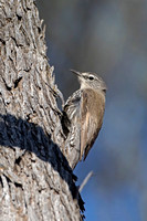 White-browed Treecreeper (Climacteris affinis)