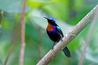 Copper-throated Sunbird (Leptocoma calcostetha)