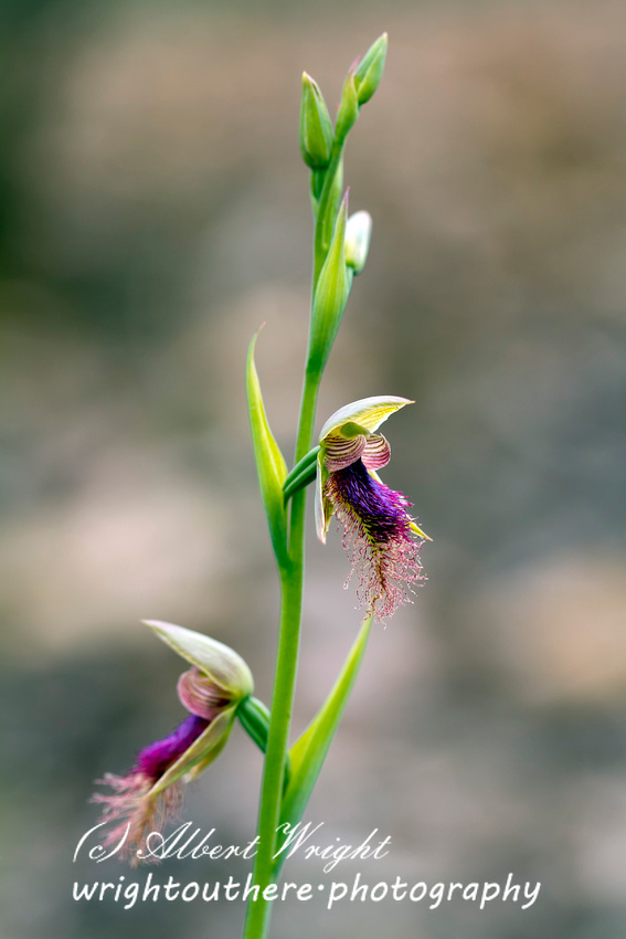 Purplish Beard Orchid (Calochilus robertsonii)