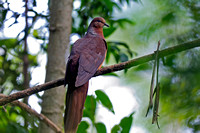 Brown Cuckoo-Dove (Macropygia phasianella)