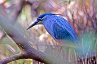 Striated Heron (Butorides striata javanica)