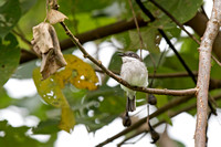 Black-winged Flycatcher-shrike (Hemipus hirundinaceus)