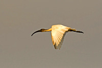 Black-headed Ibis (Threskiornis melanocephalus)