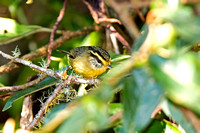 Yellow-throated Fulvetta (Alcippe cinerea)