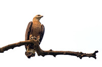 Pallas's Fish Eagle (Haliaeetus leucoryphus)