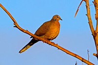 Spotted Dove (Spilopelia chinensis